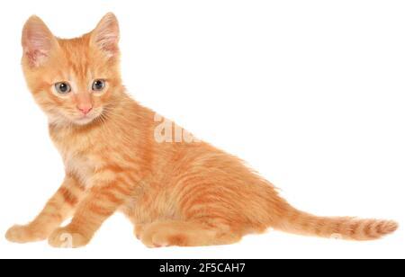 Il gattino arancione va su una vista laterale isolata.