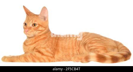 Il gattino arancione giace su una vista laterale isolata.