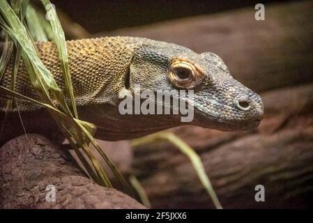 Drago Komodo (Varanus komodoensis), noto anche come monitor Komodo, presso la St. Augustine Alligator Farm di St. Augustine, Florida. (STATI UNITI)