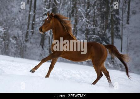 Purosangue Araba gelding castagne galoppando su pascolo invernale, Austria Foto Stock