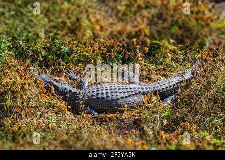 Un alligatore visto dalla Torre di osservazione a Shark Valley nel Parco Nazionale delle Everglades in Florida. Foto Stock