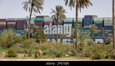 Villaggio di Manshiat al-Rahula, vicino a Suez, Egitto. 29 Mar 2021. L'Everdoned galleggia infine parallelamente al canale di Suez mentre un cammello guarda sopra. B. O'KANE/A.