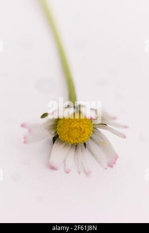Single Daisy / Bellis perennis su sfondo bianco Foto Stock