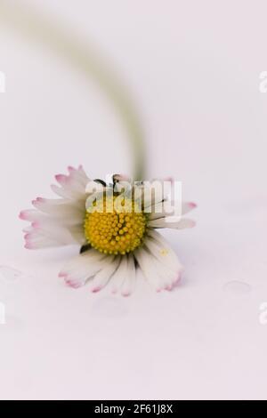 Primo piano di un singolo Daisy / Bellis perennis su un sfondo bianco