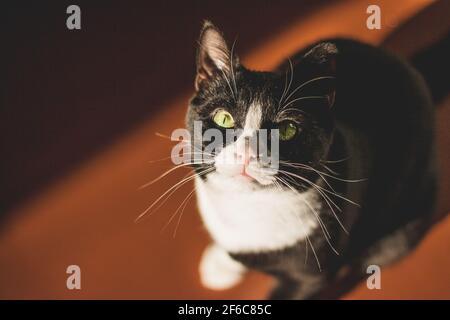 gatto nero con collo bianco e zampe e occhi gialli guarda la macchina fotografica, seduto in una stanza buia su un pavimento arancione nel sole di primavera splendente
