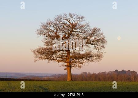 Quercia solitaria in un campo all'alba in una fredda mattina di primavera con un cielo blu chiaro e la luna sullo sfondo. Molto Hadham, Hertfordshire, Regno Unito. Foto Stock