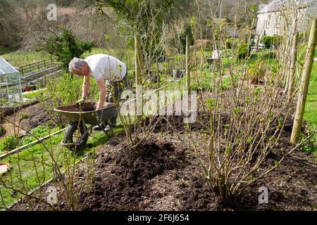 Uomo anziano giardiniere maschio carriola pacciamatura lampone canne lamponi composto Pacciame in primavera aprile giardino Galles Regno Unito Gran Bretagna 2021 KATHY DEWITT Foto Stock