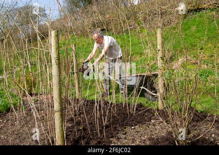 Uomo anziano giardiniere maschile pacciamatura lampone canne lamponi pacciame composto In primavera aprile giardino di campagna Galles Regno Unito Gran Bretagna 2021 KATHY DEWITT Foto Stock