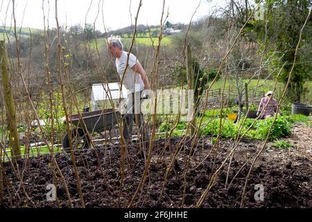 Uomo anziano giardiniere maschile pacciamatura lampone canne lamponi pacciame composto In primavera aprile giardino rurale Galles Regno Unito Gran Bretagna 2021 KATHY DEWITT Foto Stock