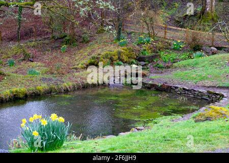 Giardino stagno piscina nel marzo 2020 in primo paesaggio primaverile con grumi di narcisi e licheni su alberi di quercia in Carmarthenshire Galles occidentale UK KATHY DEWITT Foto Stock