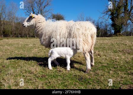 Allattamento pecora e agnello bambino succhiando da madre pecora in piedi In un campo in primavera sole sulla fattoria aprile Carmarthenshire Galles occidentale Regno Unito KATHY DEWITT