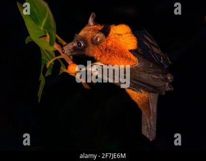 La volpe volante indiana, conosciuta anche come il più grande pipistrello di frutta indiana, è una specie di volpe che si trova nel subcontinente indiano.
