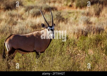 Oryx sudafricano nel parco transfontier di Kgalagari, Sudafrica; specie Oryx gazella famiglia di Bovidae