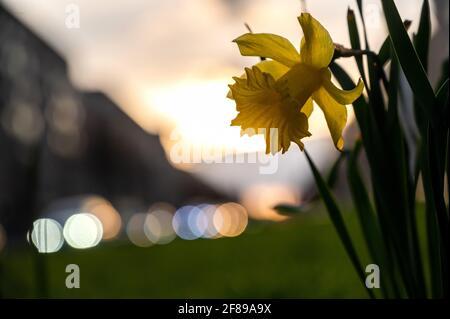 Berlino, Germania. 12 Aprile 2021. Un daffodil fiorisce su Frankfurter Allee durante il tramonto. Credit: Christophe Gateau/dpa/Alamy Live News