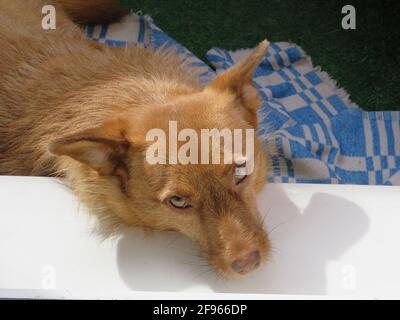 Un cane adottato dall'Abkhazia prende il sole sul balcone dell'appartamento, San Pietroburgo, Russia