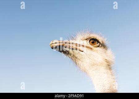 Struzzo testa di uccello e collo ritratto anteriore su sfondo blu cielo.
