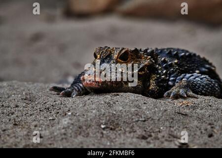 Primo piano ritratto di un caimano, coccodrillo caimano