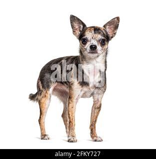 merle rosso Chihuahua isolato su bianco
