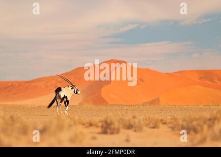 Gemsbok con duna di sabbia arancione tramonto sera. Gemsbuck, Oryx gazella, grande antilope in habitat naturale, Sossusvlei, Namibia. Animali selvatici nel savan