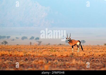 Oryx gazella bellissima e iconica antilope gemsbok dal deserto del Namib, Namibia. Oryx con duna di sabbia arancione tramonto sera. Gemsbock Grande antilope in Europa