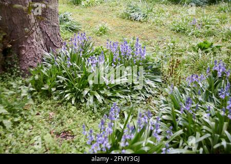 Bluebells (hyacinthoides non-scripta) crescere e fiorire nel sole di primavera, Yorkshire orientale, Inghilterra, Regno Unito, GB.