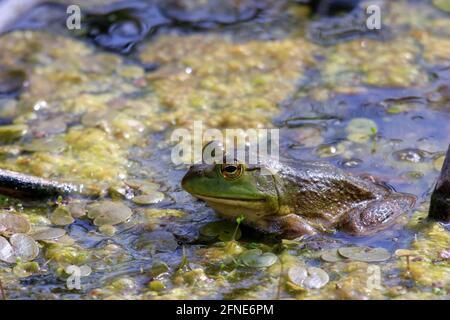 Lithobates catesbeianus - una serie di foto che mostrano l'impressionante anfibi crogiolarsi