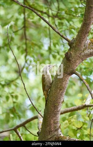Picchio grigio su un albero nel parco.