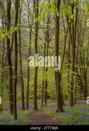 Bluebell Woods. Bluebell Woodland a Erlestoke Woods Wiltshire UK