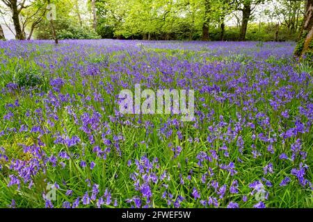Bluebells comune (Hyacinthoides non-scripta) nei giardini di Islay House, Bridgend, Islay, Inner Hebrides, Scozia.