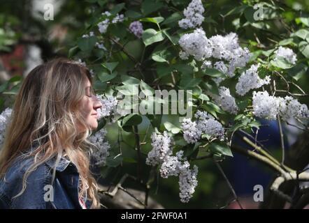 Mosca, Russia. 22 maggio 2021. Una ragazza puzza di fiori lilla nel Gorky Park a tarda primavera. Credit: Gavriil Grigorov/TASS/Alamy Live News