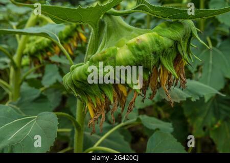 Vista laterale di un girasole finito per la stagione pieno di semi che affogano in un campo in primo piano autunno