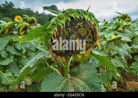 Un girasole finito in fiore pieno di semi maturi da coltivare in un campo in un giorno nuvoloso in autunno
