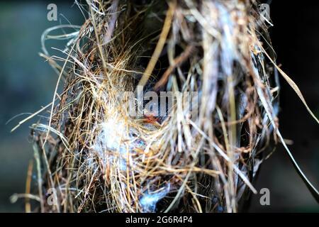 Gli uccelli rossi dell'estate del tanager nidificano sull'albero nella foresta con un bambino neonato.