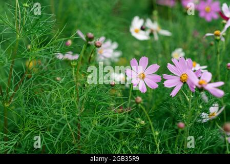 Splendido sfondo floreale verde con fiori di Cosmos bipinnatus. Maxican Astra Fiore, Fiore del Cosmo. Messa a fuoco selettiva morbida.