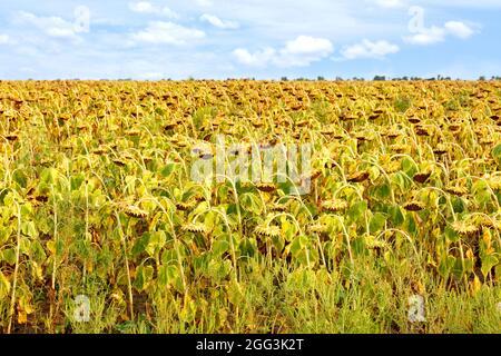 Campo agricolo con girasoli maturi contro un cielo blu nuvoloso in sfocatura. Spazio di copia.