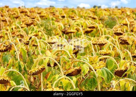 Campo agricolo con girasoli maturi, nitidezza in primo piano. Spazio di copia.