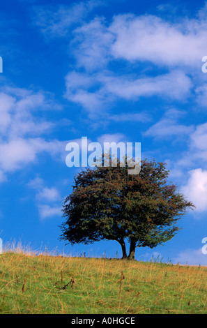 Albero di biancospino Crataegus monogyna su una collina insieme contro un cielo blu Foto Stock