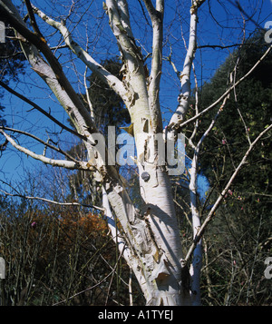West Himalayan betulla Betula utilis varietà Jaquemontii albero sfrondato e corteccia bianco Foto Stock