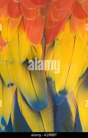 Scarlet Macaw Aro macao Close up di piume in Sud America Foto Stock