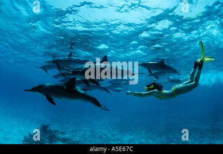 Ragazza di nuoto con i delfini selvatici, Stenella longirostris, longsnouted delfini delfini, Mar Rosso, Egitto Foto Stock