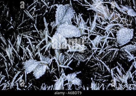 Frosty lascia contro uno sfondo nero Foto Stock