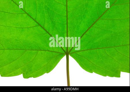 Ripresa macro di una foglia verde con stelo Foto Stock