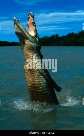 Estuari coccodrillo di acqua salata Crocodylus porosus salto fuori di acqua per la cattura di cibo in Australia Foto Stock