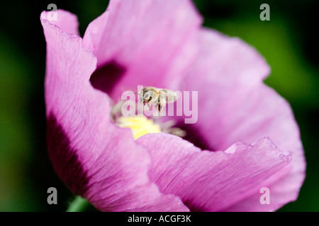 Lavoratore honey bee passando sopra Papaver somniferum papavero contro uno sfondo verde Foto Stock
