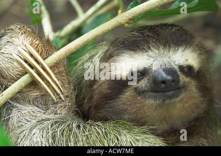Un primo piano di tre dita bradipo faccia in un albero vicino a Puerto Limon Costa Rica Foto Stock