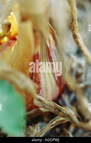 Bulbo della cipolla, extreme close-up Foto Stock