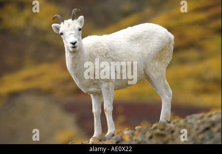 Dall's pecore pecore bianche (ovis dalli), unica donna, in piedi sulla roccia, la tundra in colori autunnali a polychrome Foto Stock