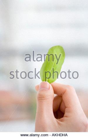 Persona in possesso di una foglia di basilico Foto Stock