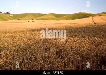 Golden orzo campo con cavallo bianco e monumento Cherhill giù vicino ad Avebury Wiltshire Estate 2006 Foto Stock