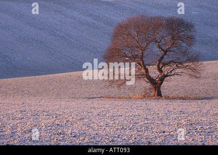 Un lone oak sorge al centro di un campo in un gelido giorno di nuovi anni in prima luce nel Wiltshire remoto. Foto Stock